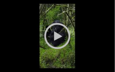 VIDEO: Witness a baby gorilla birth in Uganda!